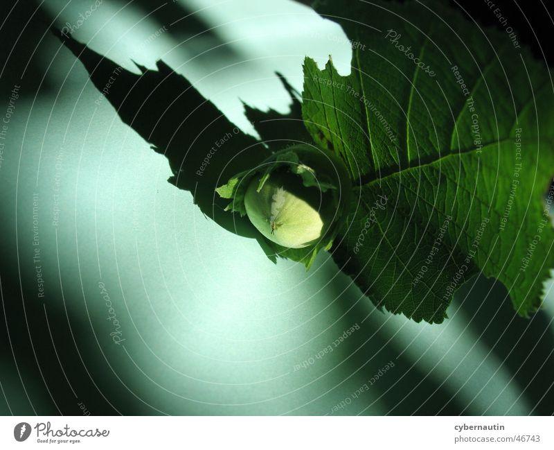 nut Hazelnut Green Shadow play Leaf Immature
