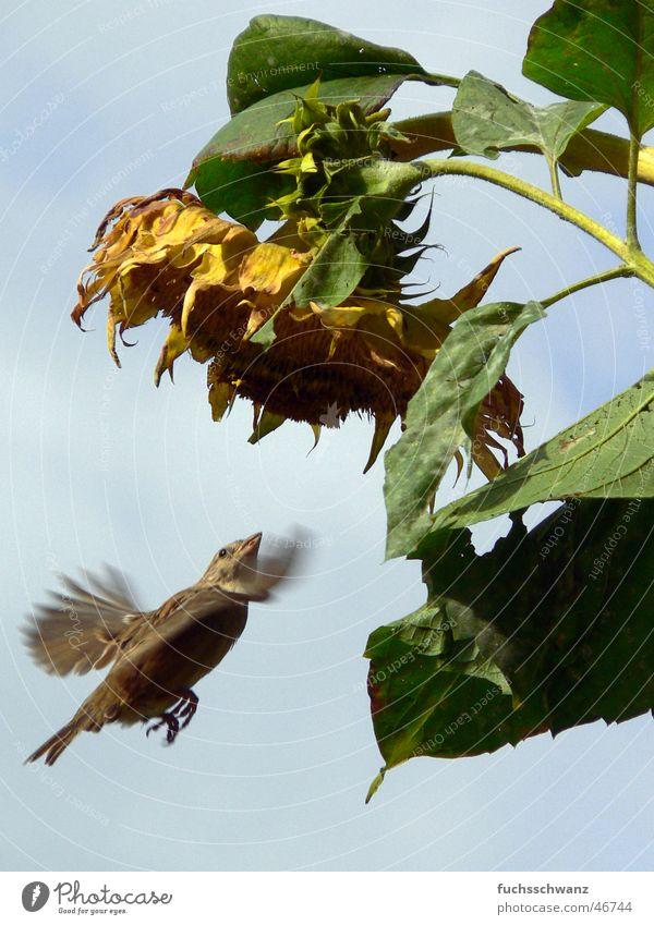 sparrow Bird Sparrow Flower Sunflower Flying
