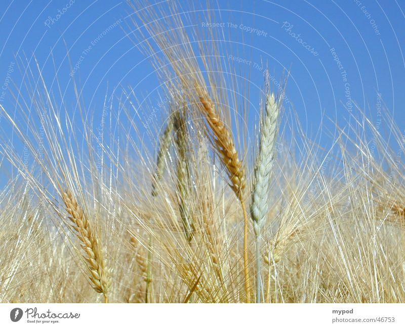 cornfield Barley Yellow Ear of corn Field Grain Close-up Sky mature barley before the harvest