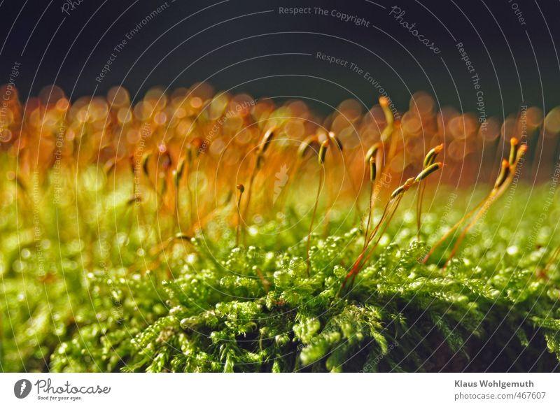foot flatterer Environment Nature Plant Autumn Moss Forest Beautiful Brown Yellow Gold Green Spore capsule sleeping moss bohek Colour photo Exterior shot