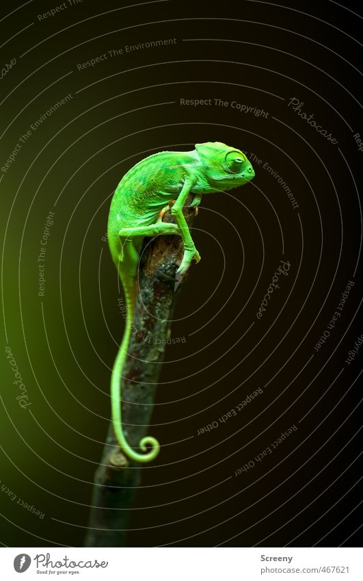 sentinel Nature Animal Chameleon 1 Baby animal To hold on Sit Small Near Above Green Bravery Watchfulness Serene Patient Calm Contentment Testing & Control