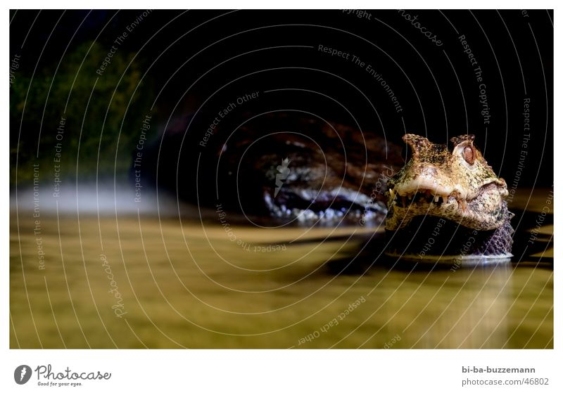 crocodile Crocodile Animal Zoo Snout Reflection Barn Muzzle Water Eyes Set of teeth Shadow