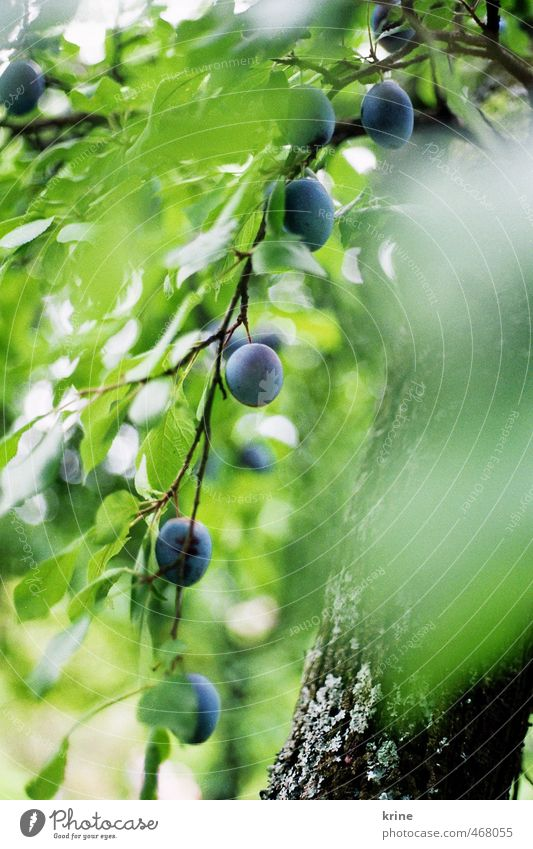 you plum Food Fruit Nutrition Organic produce Environment Nature Plant Summer Beautiful weather Tree Leaf Agricultural crop Garden Growth Esthetic Healthy