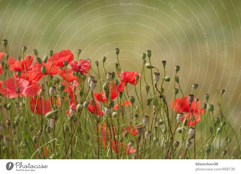 Nature Beautiful Green Plant Red Flower Movement Autumn Grass Blossom Natural Field Illuminate Blossoming Many Romance