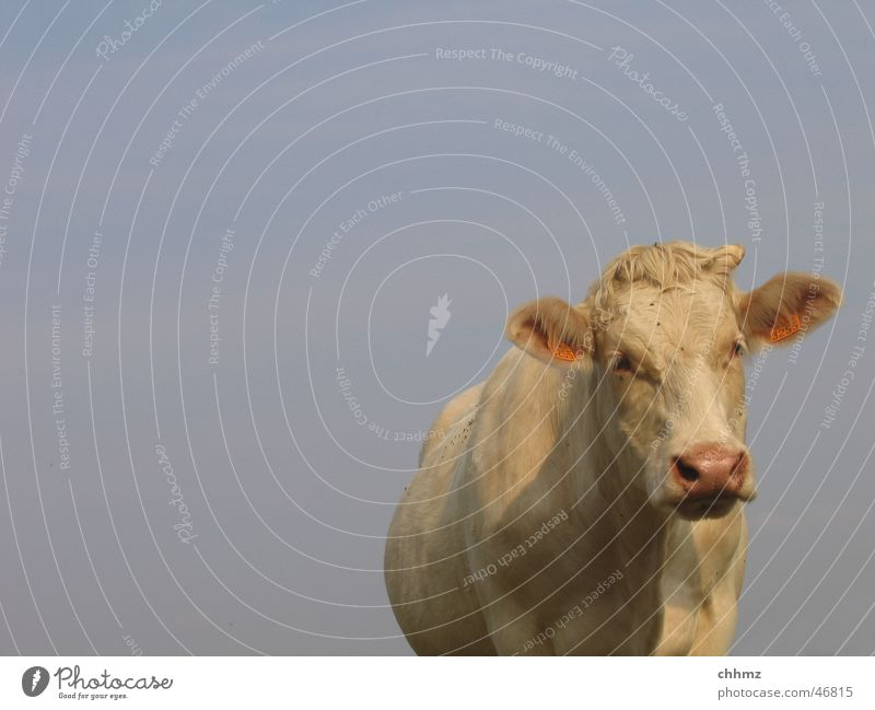 Hilde Cow Cattle White Ruminant Curiosity Sky Blue Antlers Isolated Image Bright background Looking into the camera Front view Forward Copy Space top