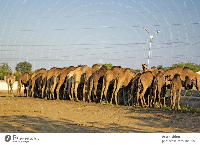 Camel asses! Environment Nature Animal Farm animal Pelt Group of animals Herd Sand To feed Stand Drinking Blue Brown Cable Tree Legs Ground Line Body