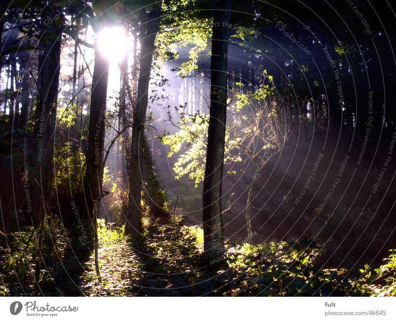 Nature Tree Sun Green Leaf Forest Wood Beam of light Evening sun Wood flour Deciduous forest