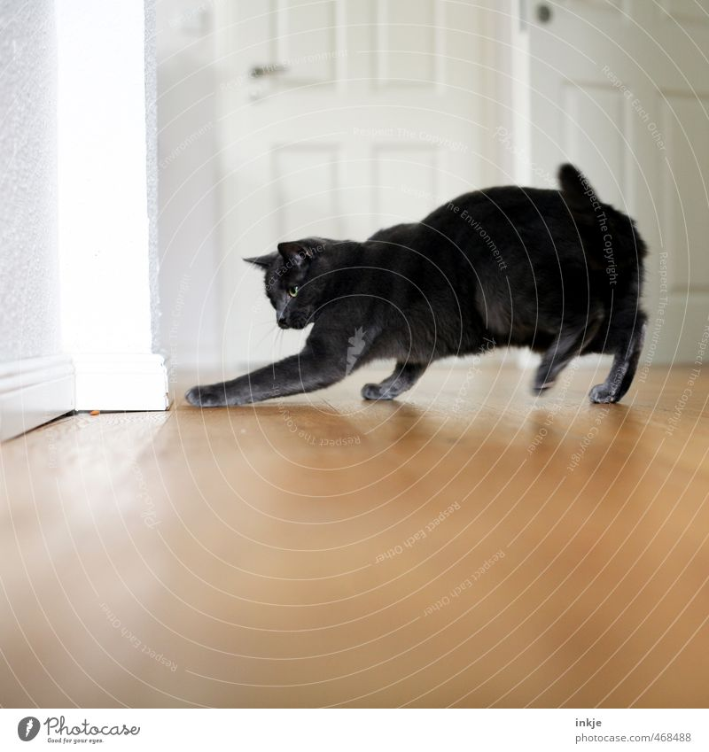 House cat (wild!) Lifestyle Joy Playing Living or residing Flat (apartment) Room Wooden floor Wooden door Animal Pet Cat 1 Catch Hunting Running Wild Curiosity
