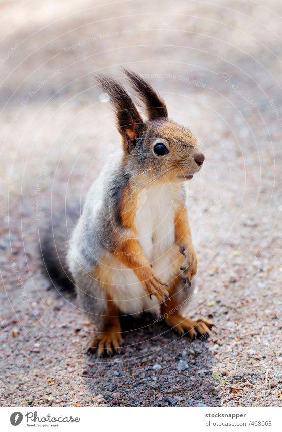 Squirrel Rodent Animal Mammal Cute eurasian Finland Finnish
