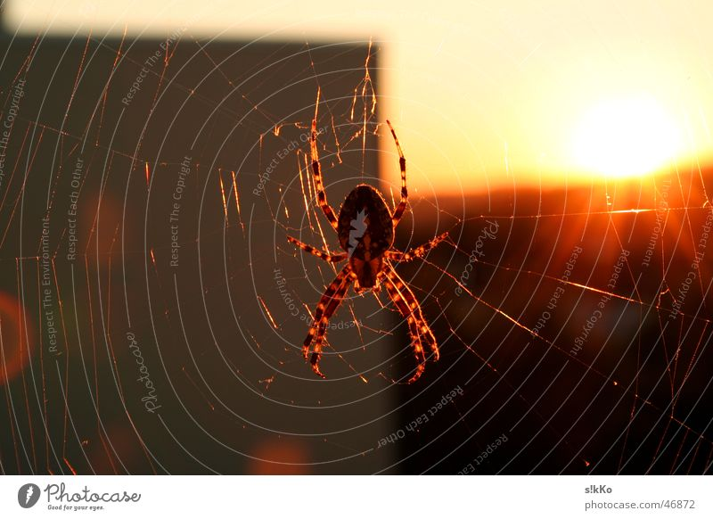 Spider in back light Sun Backlight Net nice Sewing thread