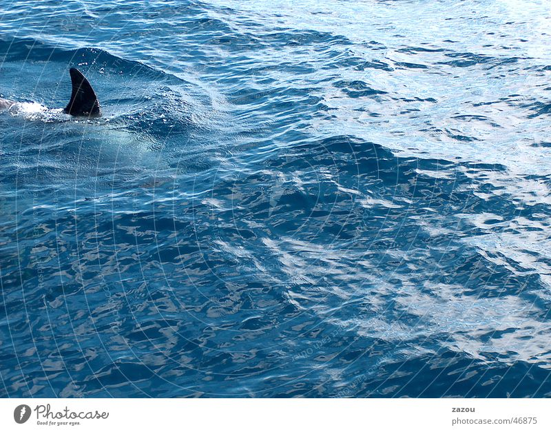 peril Dangerous Shark Whale Dolphin Finn Frightening Sales and Marketing department Threat Fish Water Blue sales spur Swimming & Bathing
