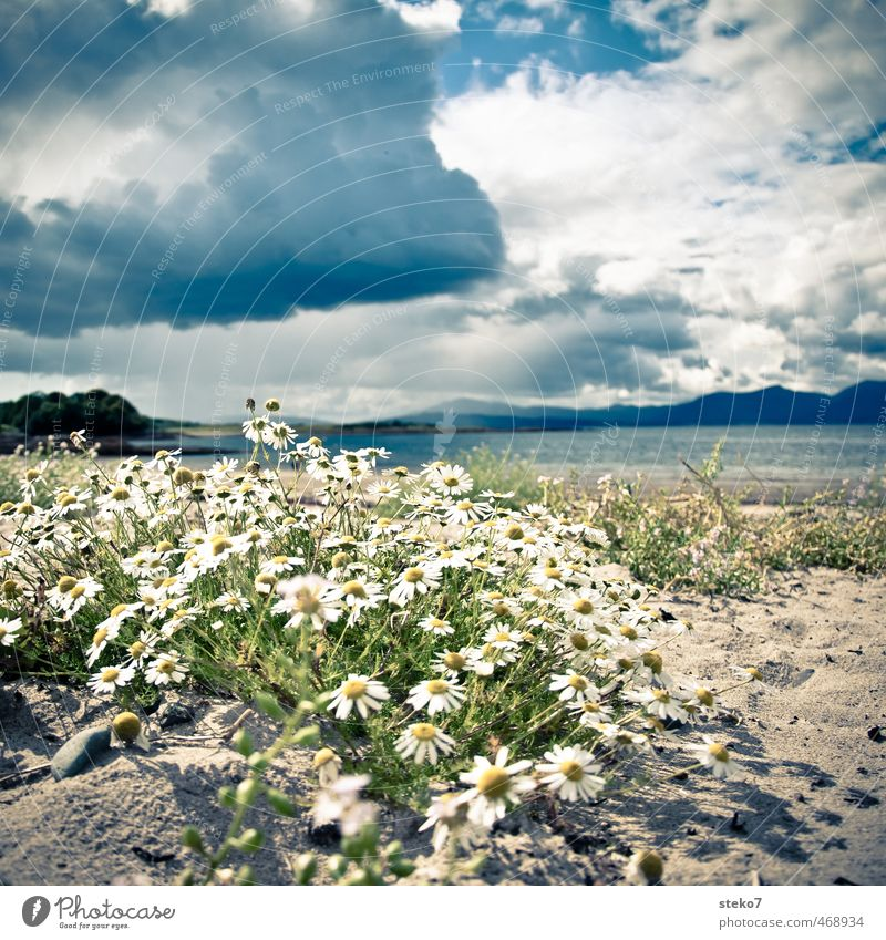 Kamille am Strand Clouds Storm clouds Blossom Coast Beach Anticipation Hope Serene Camomile Scotland Colour photo Exterior shot Deserted Copy Space top