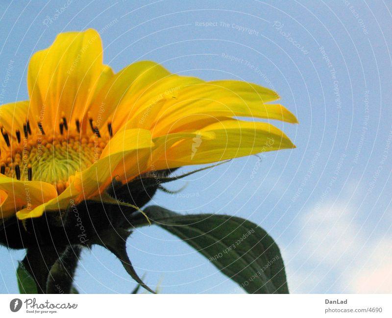 Sky Blue Summer Yellow Sunflower Flower