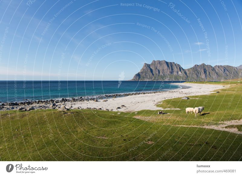 uttacleiv Nature Landscape Sand Water Sky Horizon Summer Beautiful weather Grass Rock Coast Beach Ocean Arctic Ocean Lofotes Norway Wild animal Sheep 2 Animal