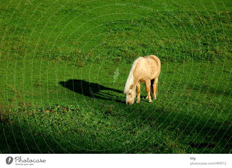 Tryggur of Loyalty Horse Iceland Pony Loneliness To feed Meadow Pasture Green Light Autumn Bangs Shadow sunlit