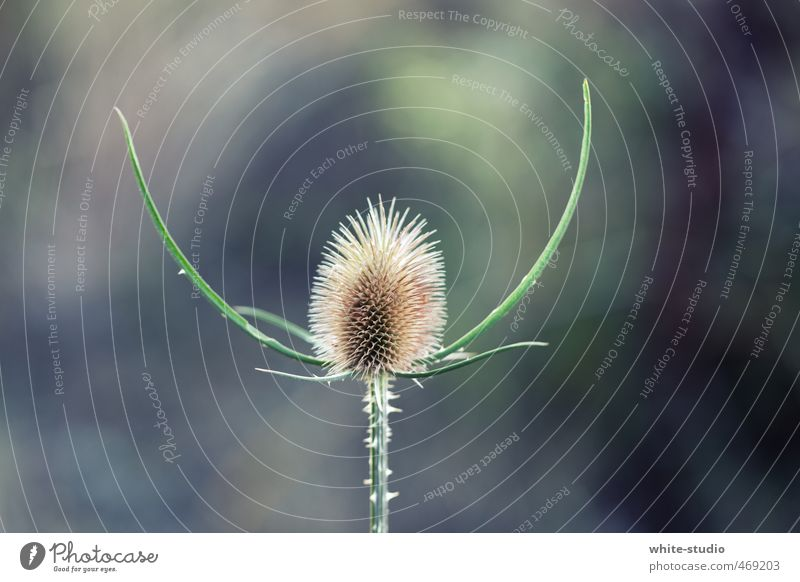 fiendish villain Thistle Aggression Claustrophobia Pride Threat Devil Evil Bad guy Teasel Pain Respect Spine Thorny Unwavering Vension Wild plant Wilderness