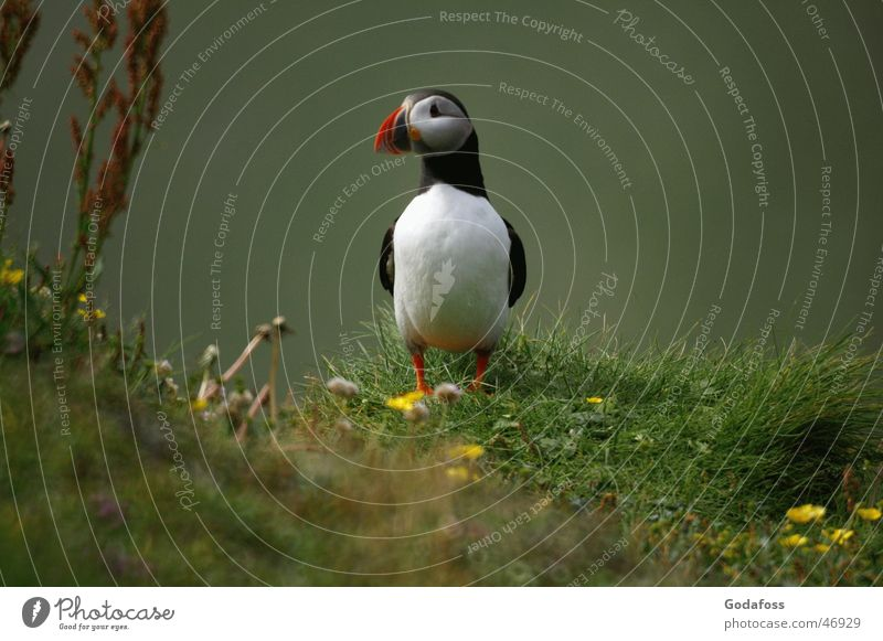 Puffin Daddy Bird Animal face Animal portrait Full-length Looking into the camera Cute Neutral Background Copy Space right Stand Long shot Exterior shot