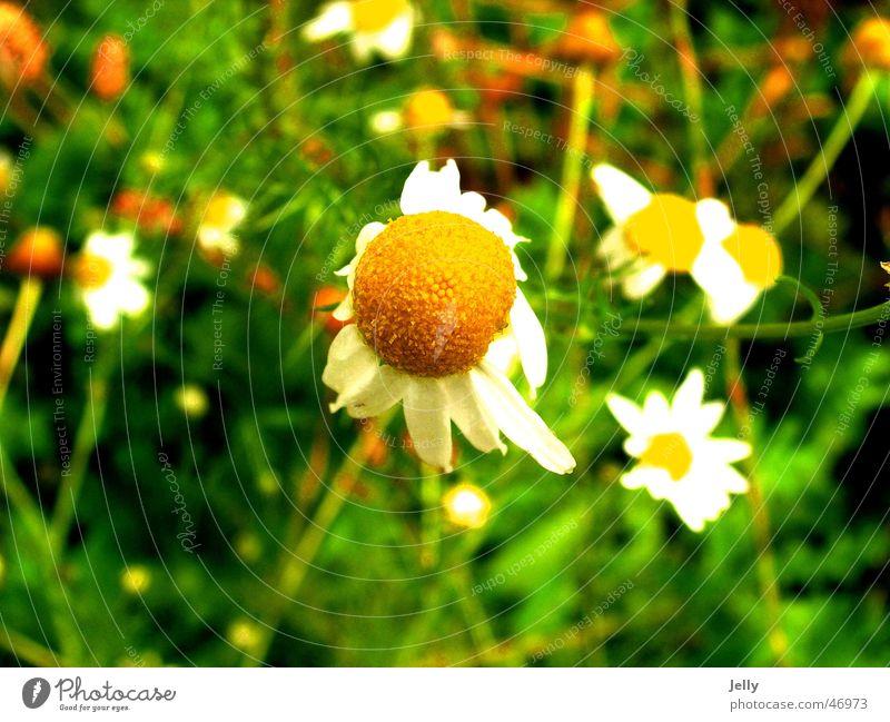 pick me Flower Green Meadow Blur Flower meadow marguerite