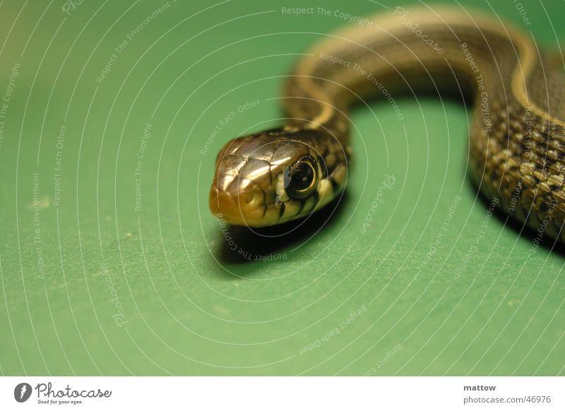 Animal Snake Reptiles