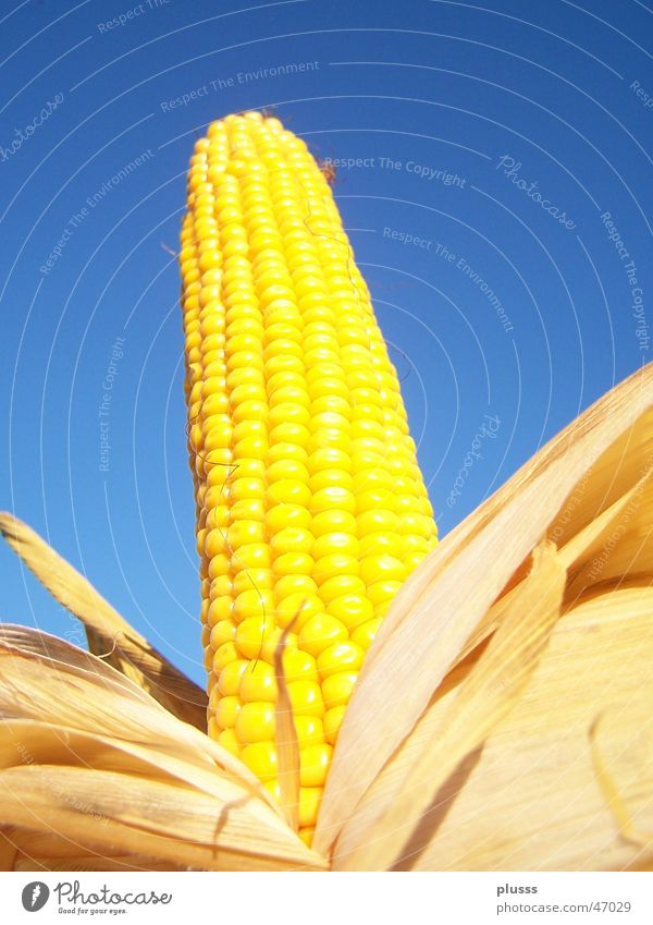 magnificent flask Corn cob Yellow Grain Leaf Corn kernel Unwrapped Maize field Roasted Sky Blue Nutrition