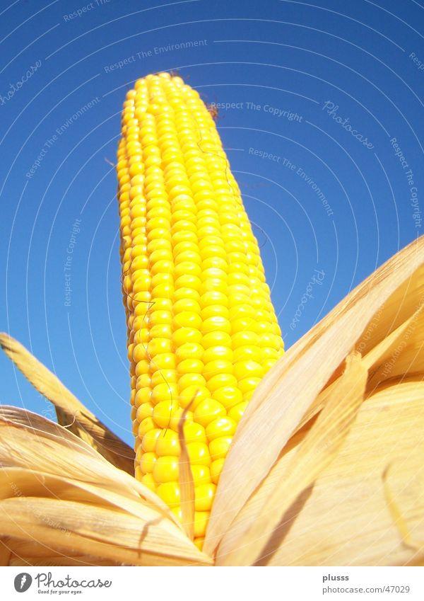 Sky Blue Leaf Nutrition Yellow Grain Fruit Maize Maize field Corn cob Roasted Corn kernel Unwrapped
