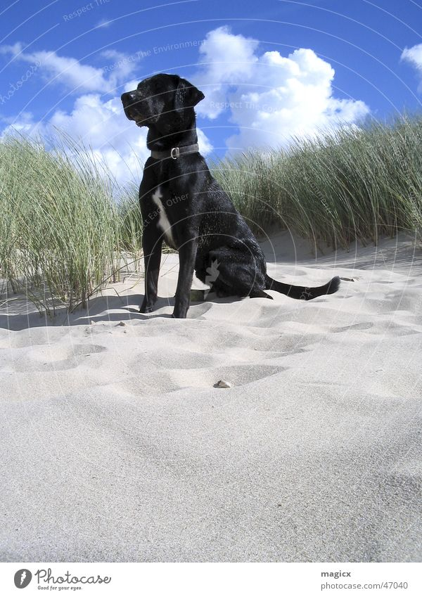 KingOfTheBeach Dog Clouds Ocean Labrador Netherlands Animal Sand Beach dune Sky black dog Blue North Sea Shadow