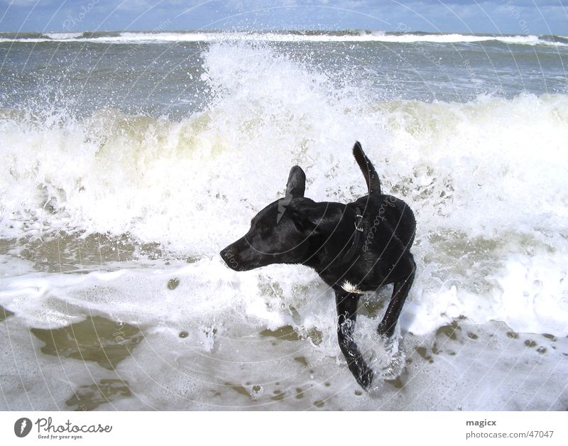 Dog Sky Water Ocean Beach Black Jump Waves Walking Wet Damp Surfer Netherlands White crest Labrador Splash of water