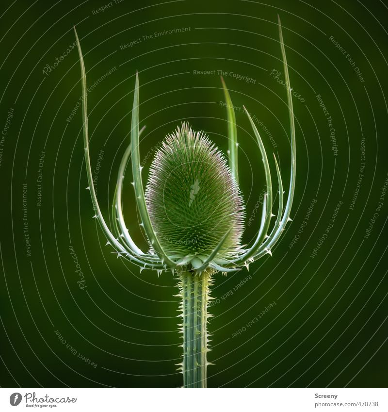 The Queen Nature Animal Plant Wild plant Teasel Meadow Thorny Power Might Protection Unwavering Pain Dangerous Timidity Respect Pride Elegant Threat Safety