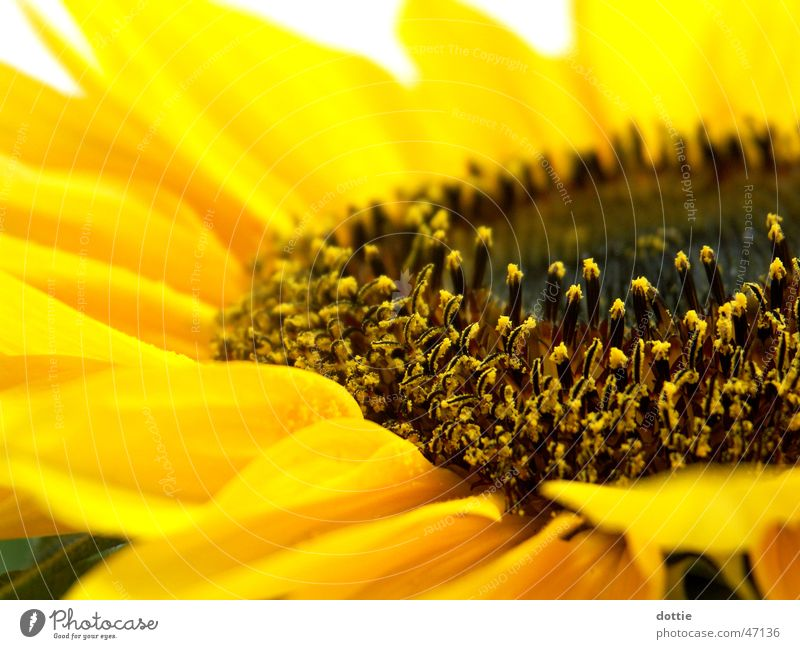Summer Yellow Near Sunflower Pollen