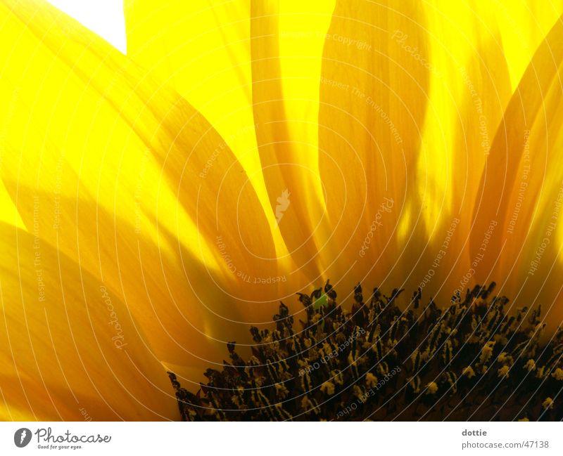 Summer Yellow Near Sunflower Pollen