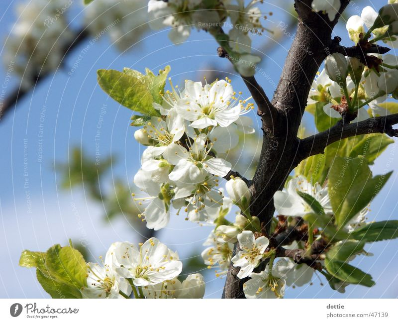 White Tree Blossom Spring Branch Blossoming Cherry