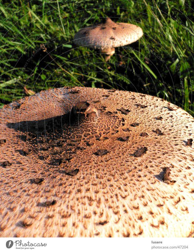 Green Autumn Meadow Grass Perspective Near Mushroom Surface