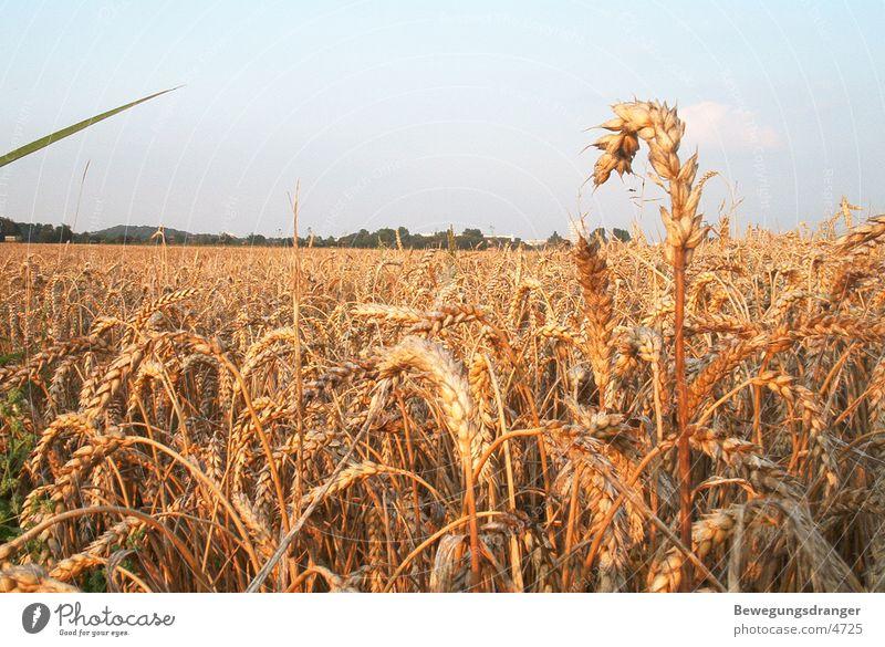 field Sunset Red Grain