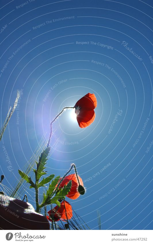 Nature Sky Sun Flower Red Summer Landscape Growth Poppy Beautiful weather Maturing time