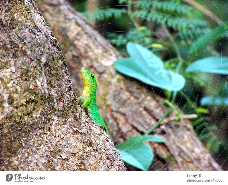 Tree Green Leaf Animal Forest Brown Hide Crawl Tree bark Iguana Seychelles Gecko La Digue