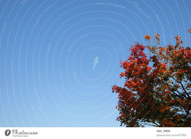 Nature Sky Tree Blue Red Autumn Beautiful weather Maple tree