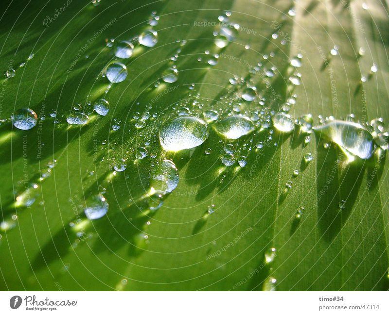 Early morning dew on royal palm in the Dominican Republic_I Water Drops of water Rope