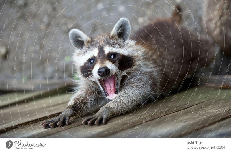 Beautiful Animal Wild animal Cute Pelt Set of teeth Animal face Wash Paw Stretching Muzzle Claw Comical Yawn Raccoon Button eyes