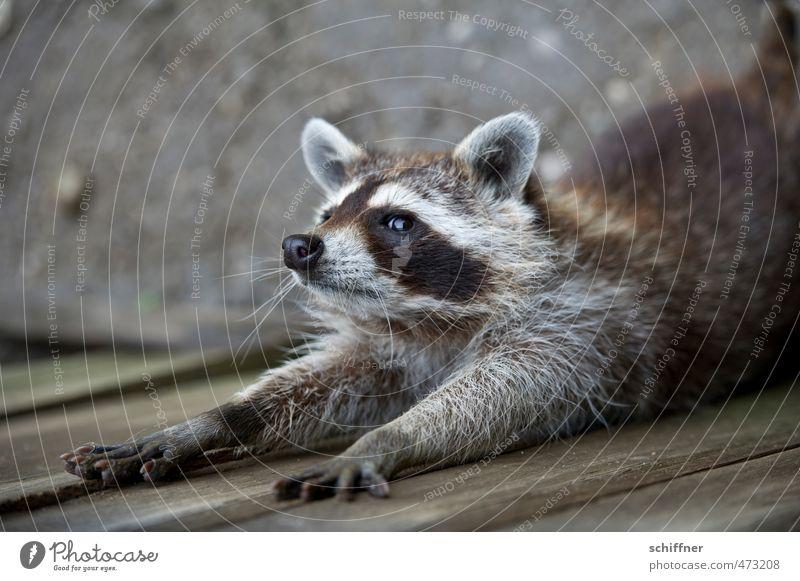 Animal Swimming & Bathing Wild animal Pelt Animal face Paw Claw Raccoon