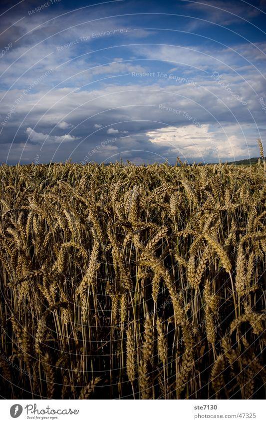 Grain with sky Cornfield Wheat Clouds eras Sky heaven blue