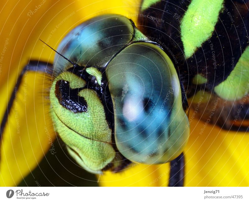 Mosaic Maidweed Dragonfly Insect Southern hawker Compound eye Macro (Extreme close-up)