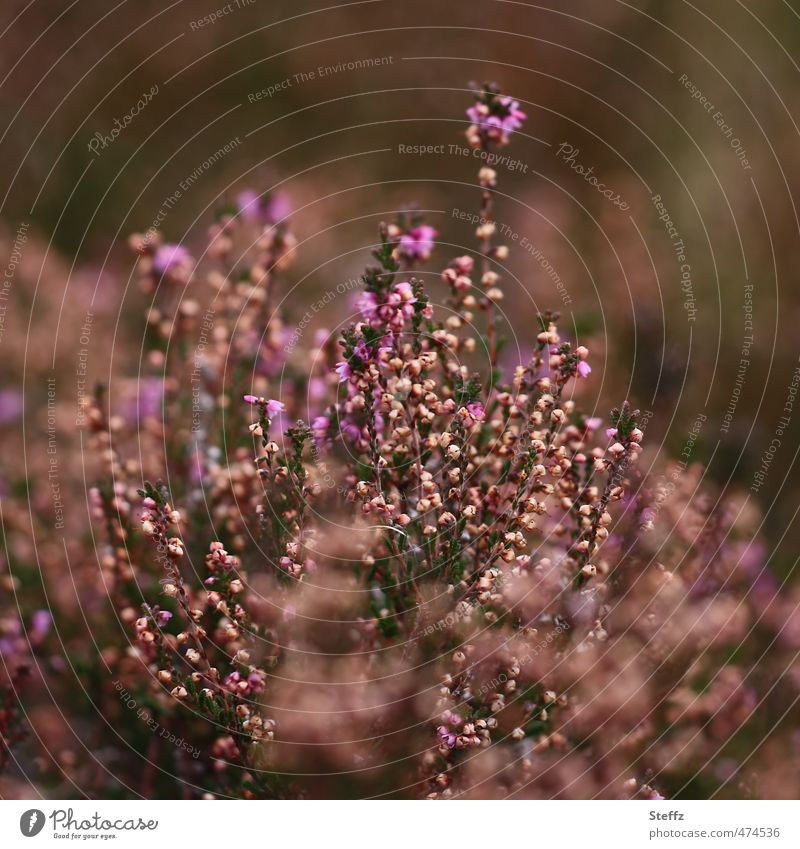 Nature Colour Plant Relaxation Landscape Calm Autumn Moody Idyll Bushes Blossoming Romance Violet Early fall Wild plant Heathland