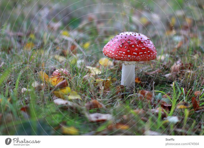Red in the grass Nature Autumn Grass Leaf Amanita mushroom Mushroom Mushroom cap poisonous mushroom Autumn leaves Meadow Natural Beautiful Green November mood