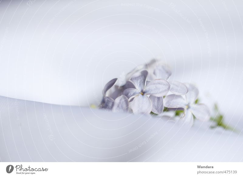 Lilac, very still Spring Beautiful weather Plant Flower Blossom Relaxation Dream Soft Violet White Calm Modest Loneliness Ease Grief Still Life Delicate