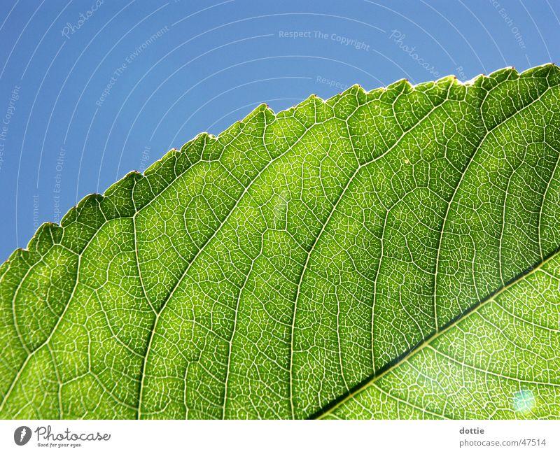 sun leaf Leaf Vessel Green Sun Macro (Extreme close-up)
