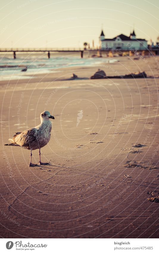 Seagull I Beach Baltic Sea Ocean Ahlbeck Germany Europe Deserted Sea bridge Bird 1 Animal Sand Looking Stand Brown Far-off places Loneliness Calm Colour photo