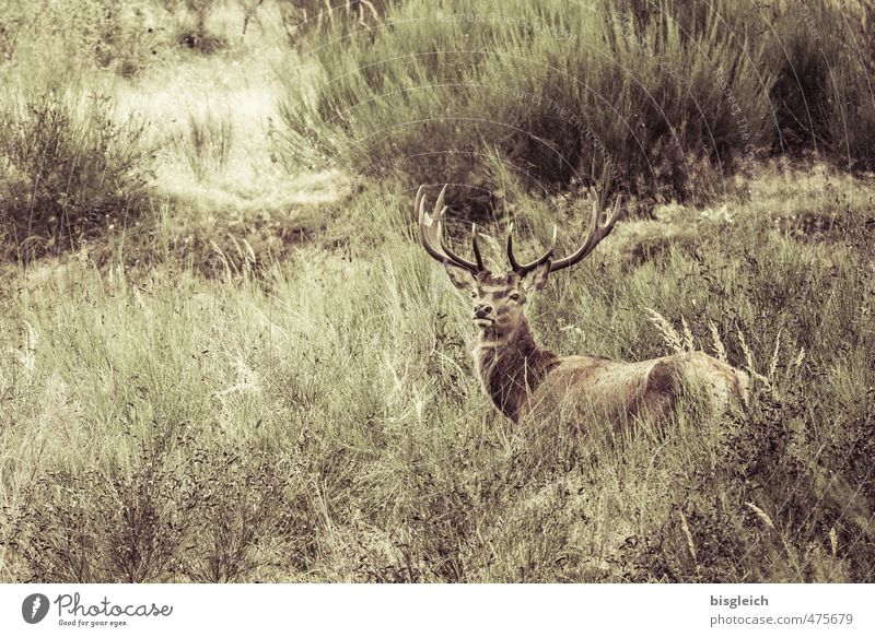 small stag II Vension Environment Nature Wild animal Deer 1 Animal Looking Brown Green Antlers Colour photo Subdued colour Exterior shot Deserted Day