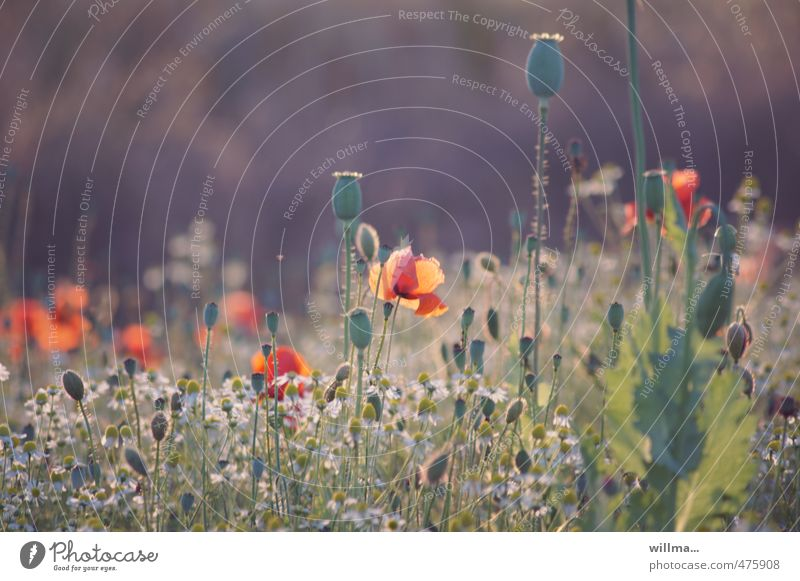 Summer Evening II Nature Plant Poppy Poppy capsule Poppy field Flower meadow Blossoming Joie de vivre (Vitality) Summer evening Colour photo Exterior shot