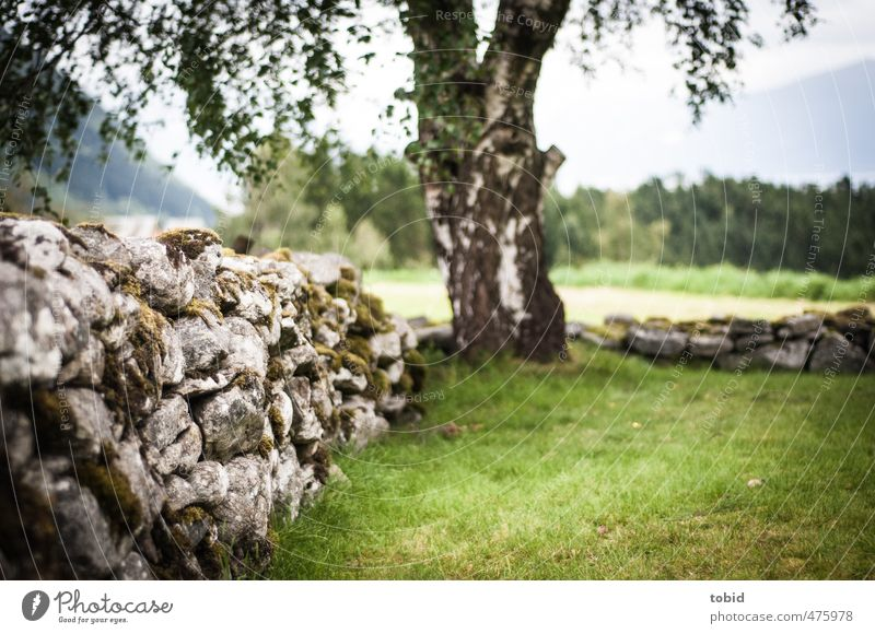 stone wall Tree Moss Wall (barrier) Weathered Birch tree Old Near Sadness Stone wall Tree trunk Grass Green Colour photo Exterior shot Deserted Day