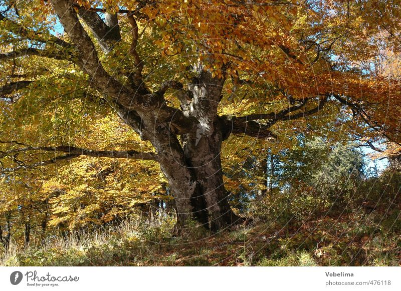Tree in autumn Nature Landscape Plant Autumn Forest Old Brown Multicoloured Yellow Gold Orange Calm Colour photo Exterior shot Deserted Day Central perspective